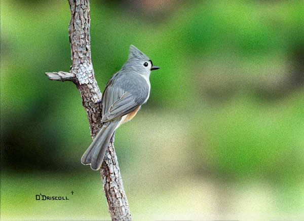 Tufted Titmouse an acrylic painting by wildlife artist Danny O'Driscoll
