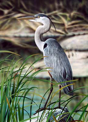 Watching and Waiting -Great Blue Heron an acrylic painting by wildlife artist Danny O'Driscoll