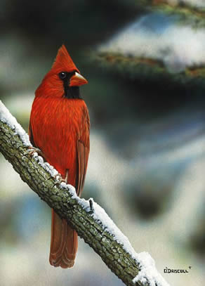 Winter Red Cardinal an acrylic painting by wildlife artist Danny O'Driscoll
