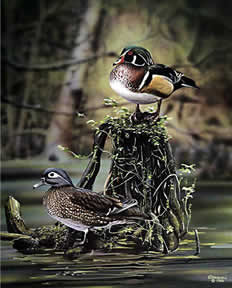 Wood Ducks an acrylic painting by Wildlife Artist Danny O'Driscoll