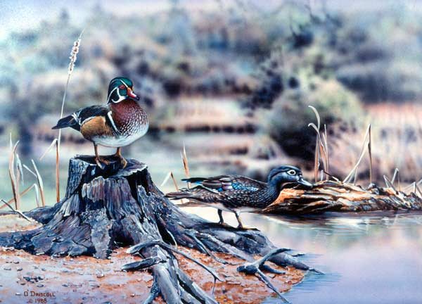 Wood Duck pair-acrylic painting by wildlife artist Danny O'Driscoll