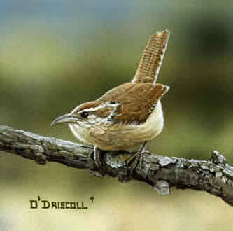 A Carolina Wren original acrylic painting by wildlife artist Danny O'Driscoll