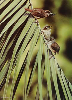 Wrens on Palm an original acrylic painting by wildlife artist Danny O'Driscoll