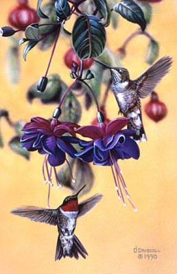 """Tiny Dancers"" - Hummingbirds - by Wildlife Artist Danny O'Driscoll"
